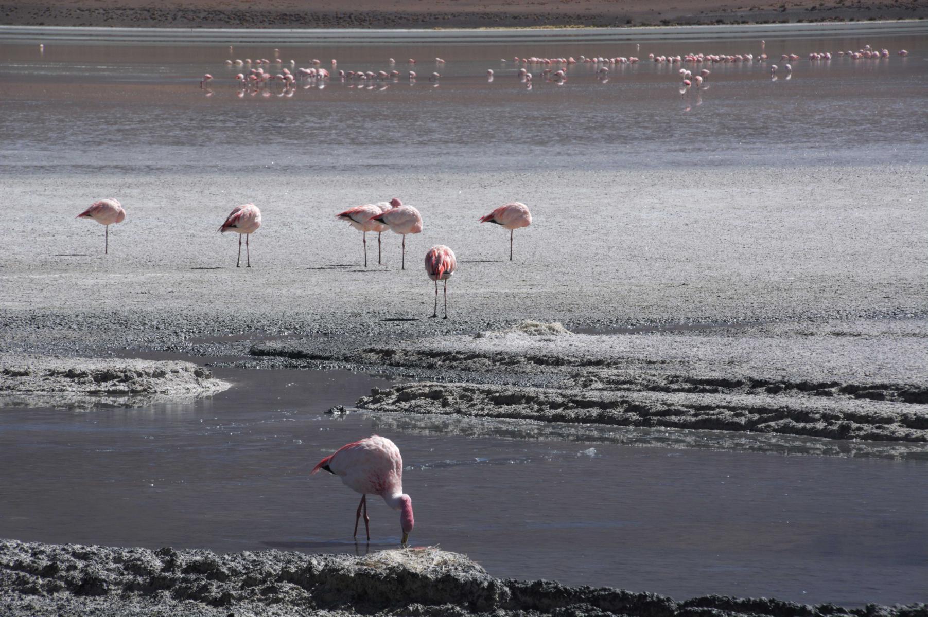K1600_Flamingos